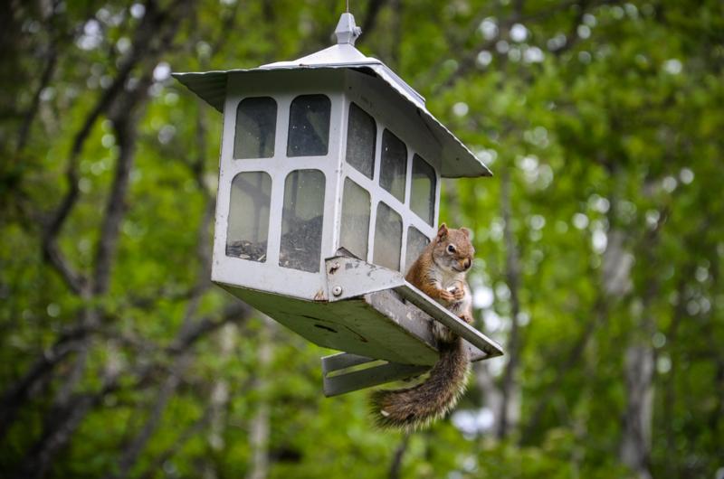 ecureuil-quebec