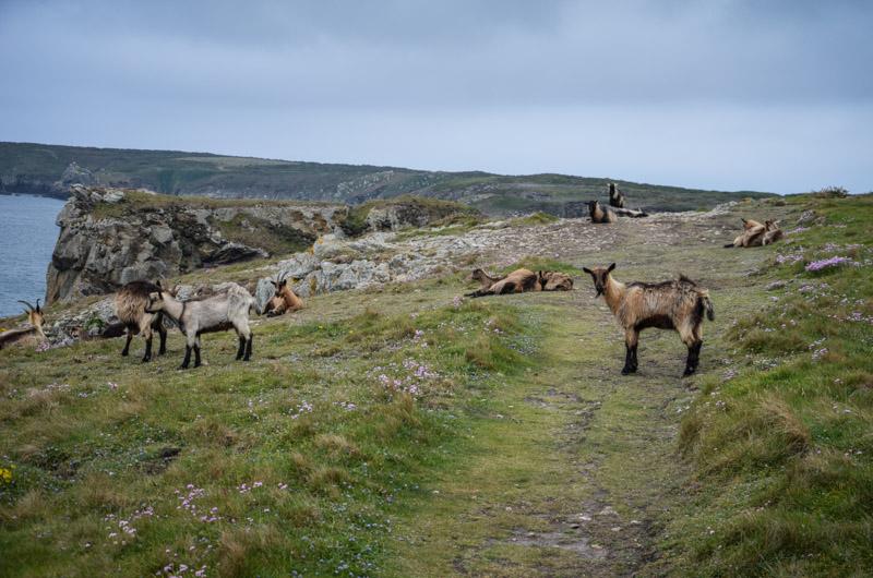 chèvres ouessant