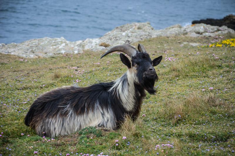 chèvre Ouessant