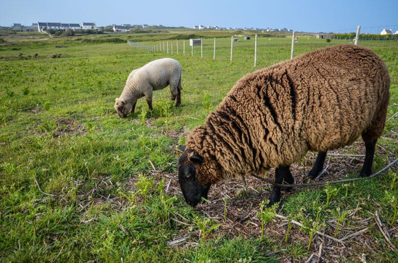 île Ouessant Bretagne Finistère mouton
