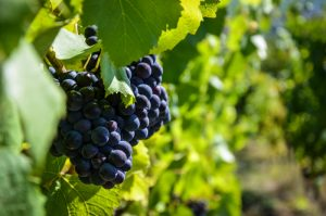 raisin vigne alsace