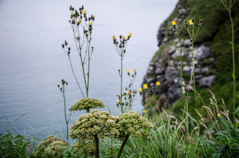 fleurs-cote-irlande