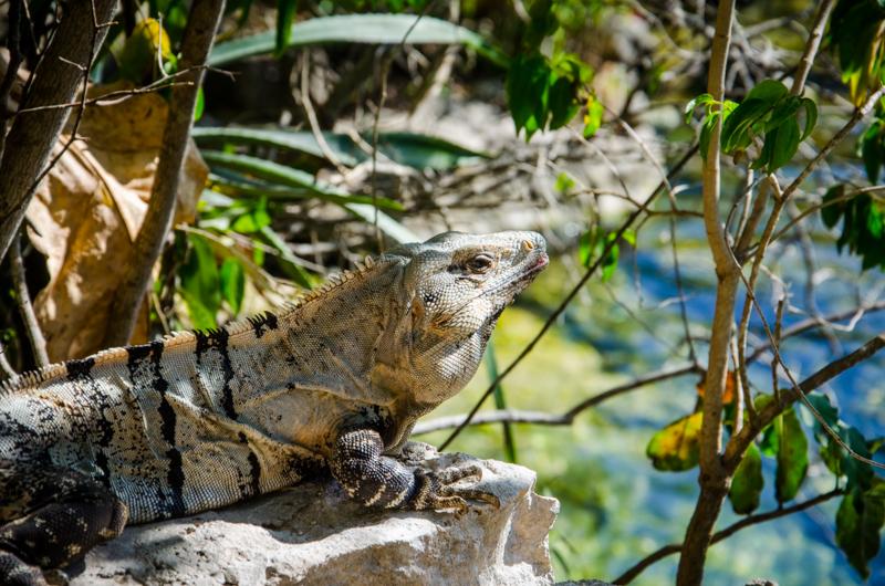 iguane-cenote-azul-mexique