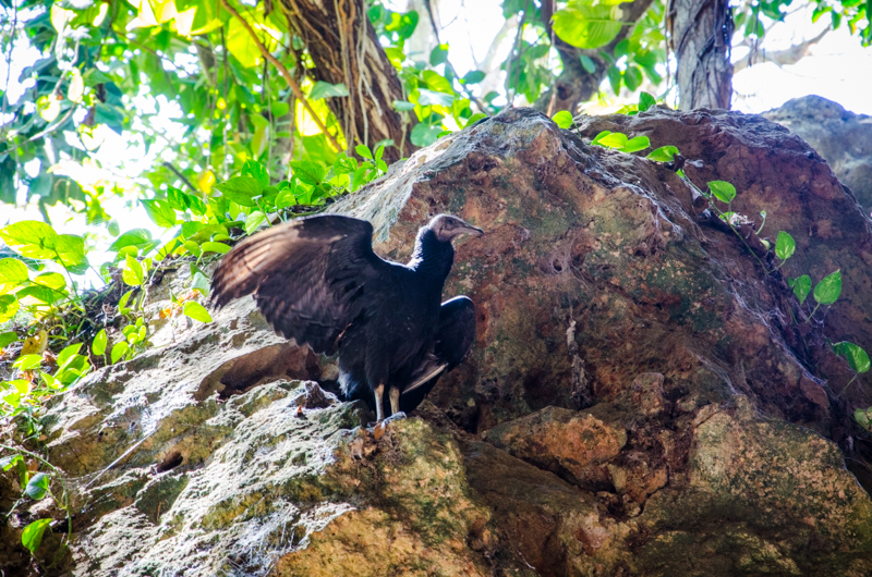 vautour-cenote-zaci