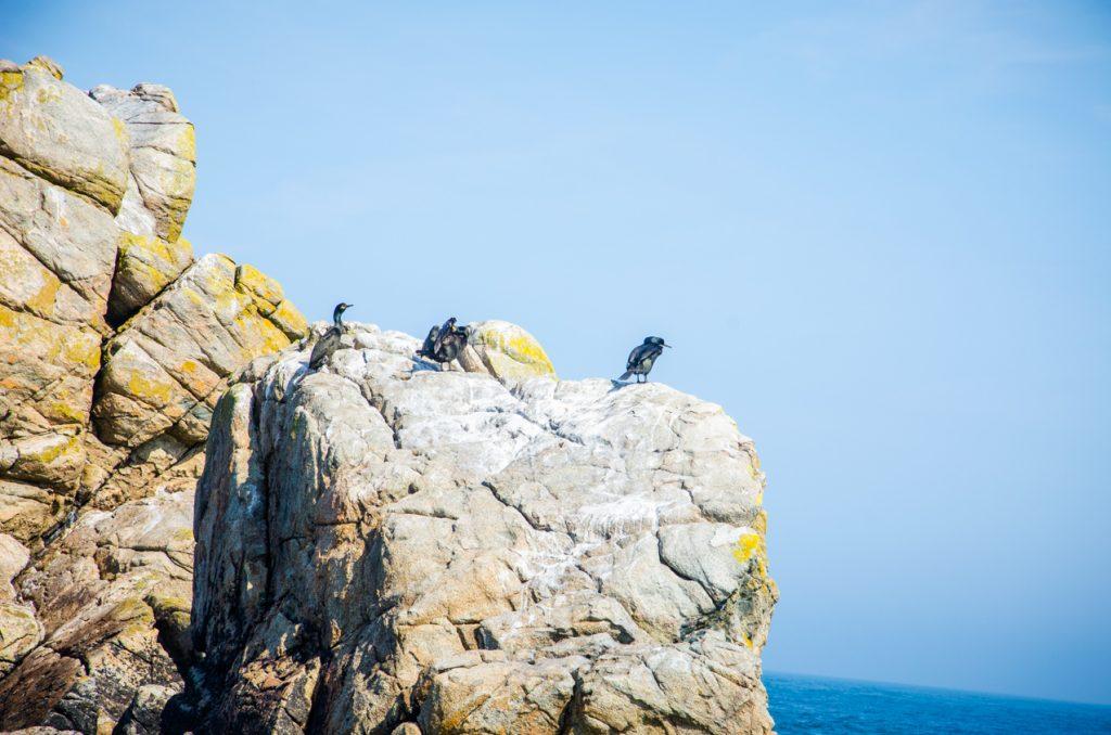 cormoran-huppe-archipel-sept-iles
